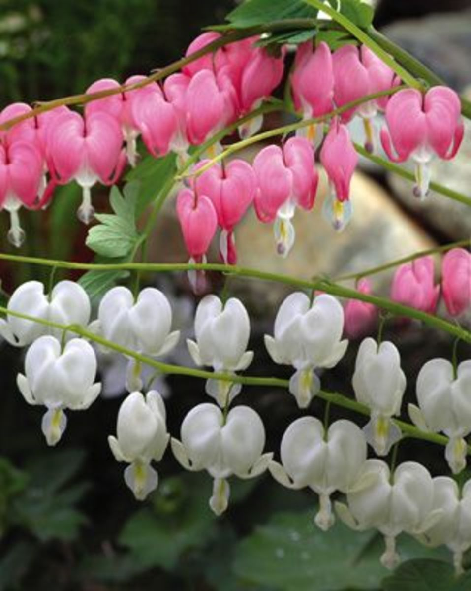 White and pink bleeding heart flowers.