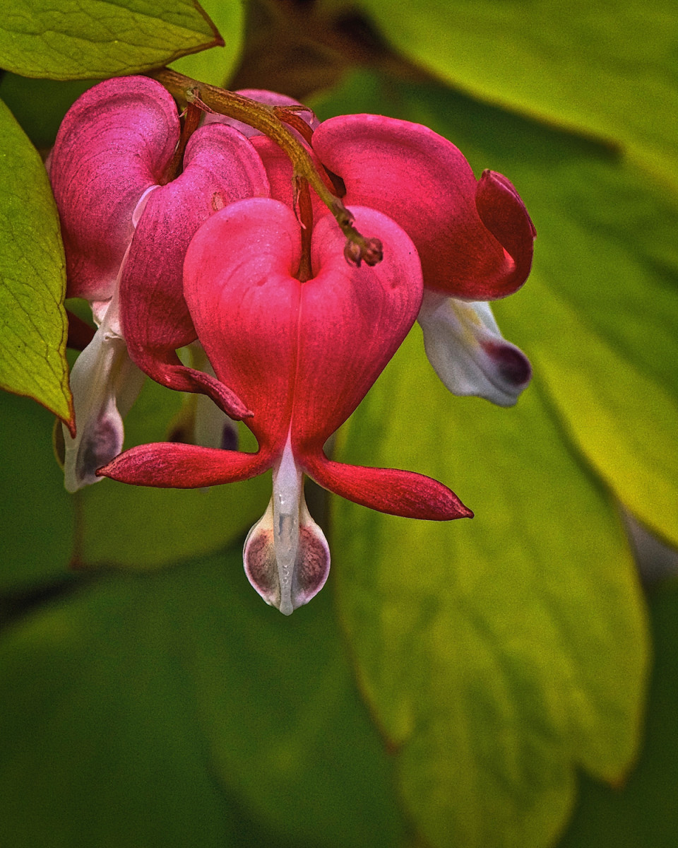 You can certainly see why it's called a bleeding heart.