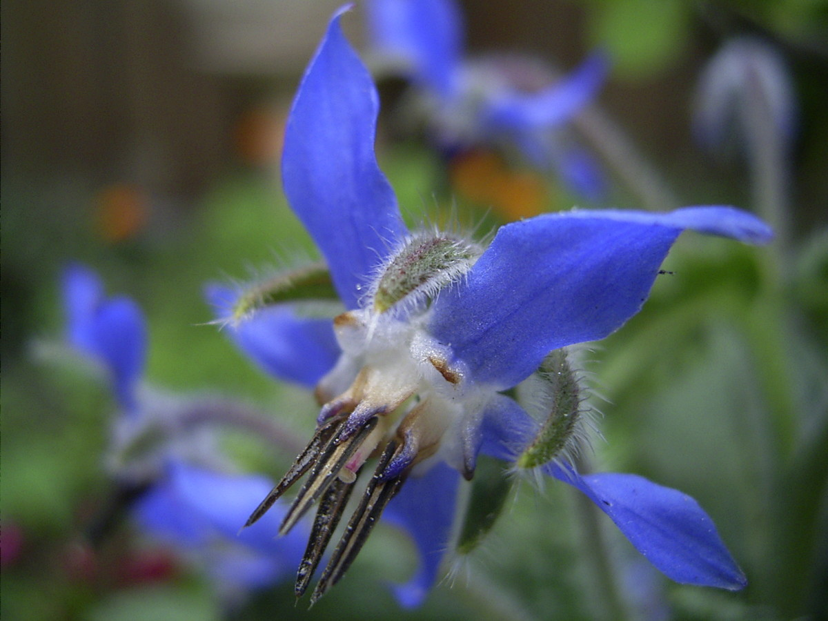 Borage. An annual herb also known as starflower It is used both for medicinal purposes and in cooking.