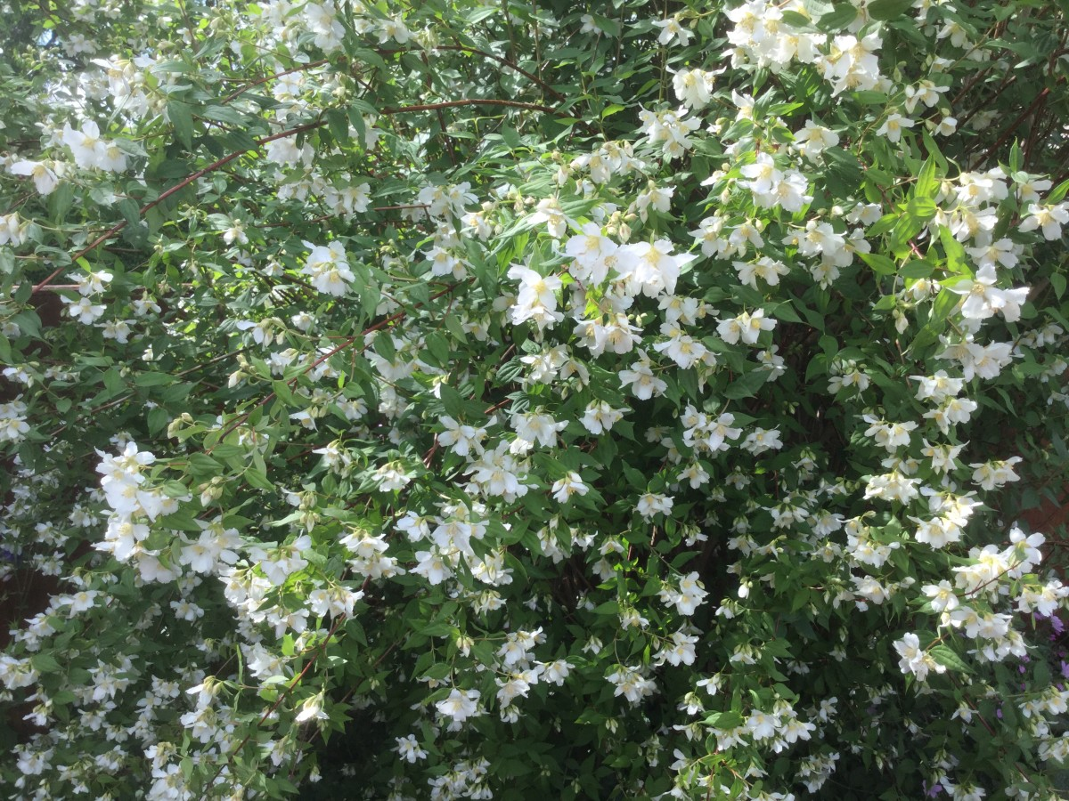 Philadelphus (Mock Orange). A perennial shrub, flowering in June, that has a wonderful scent that is reminiscent of bubble gum.