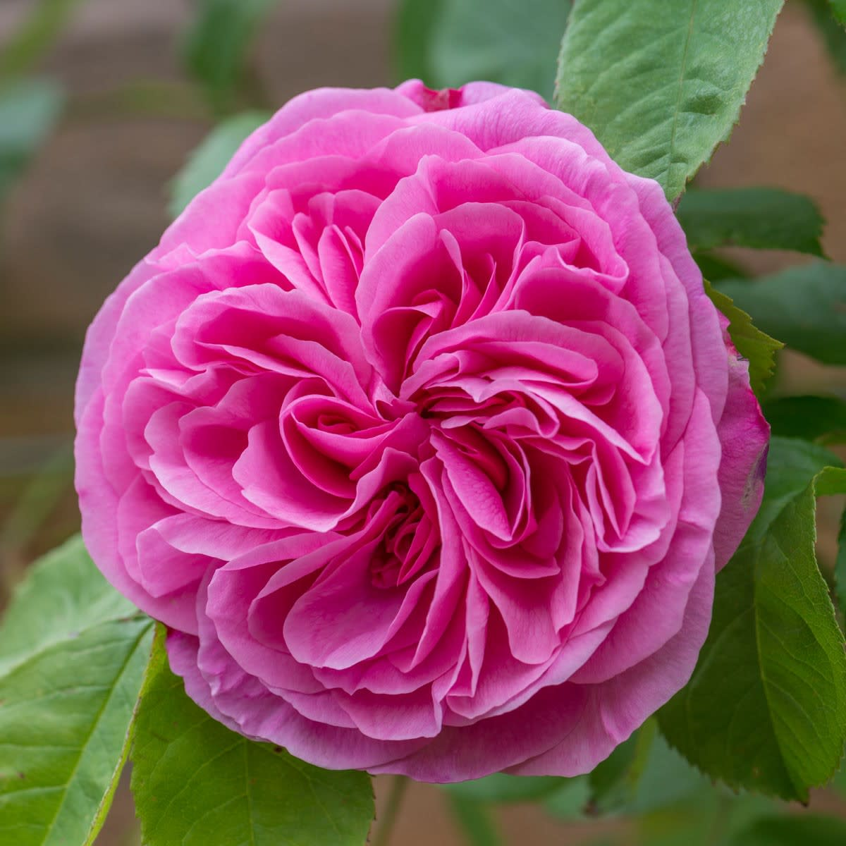 Gertrude Jekyll All roses thrive best if fed regularly, mulched, and sprayed to prevent greenfly and fungal disease