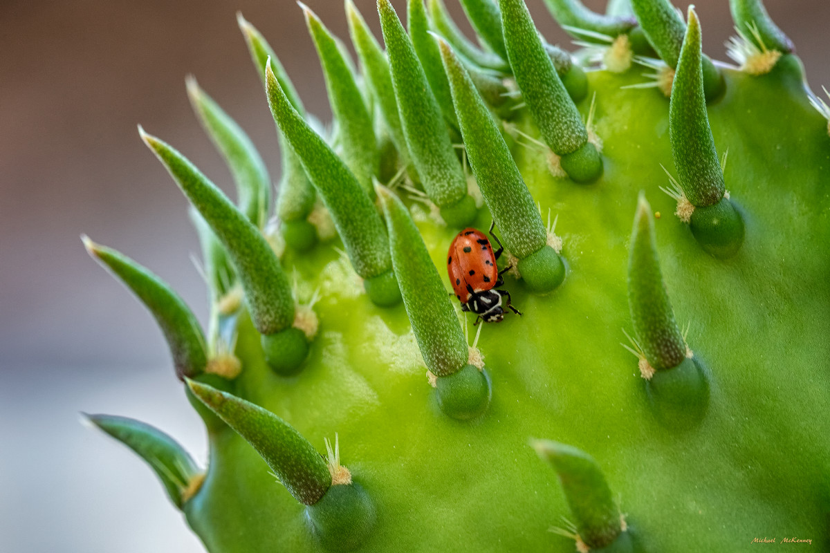 I don't know what this ladybug found on this prickly pear cactus in our front yard.