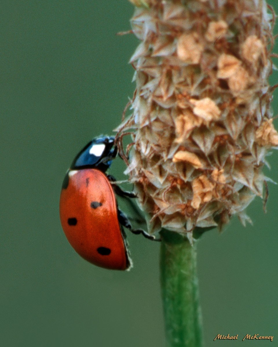 "This ladybug is only eating the insects that damage your plants in the garden.  Ladybugs do no damage, but they love the ""all-you-can-eat buffet"" that sap-sucking aphids and other insects provide for them."