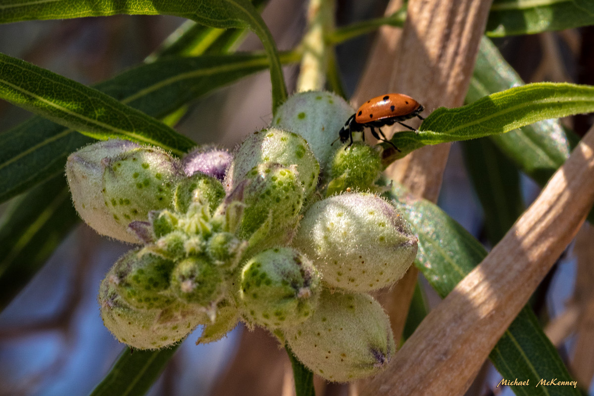 An orange ladybug in the adult stage, which will last for about 12 weeks.