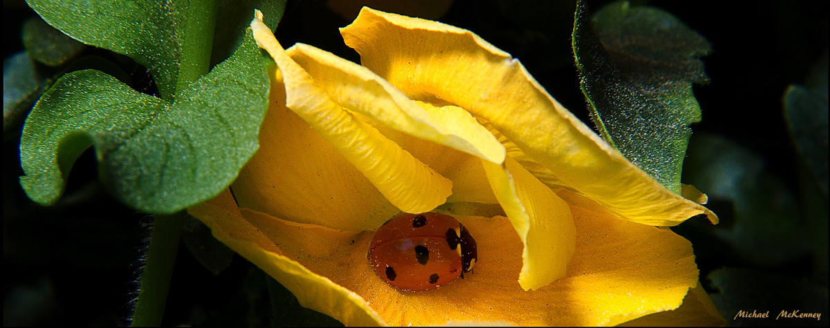 A beautiful ladybug nestled inside a flower.