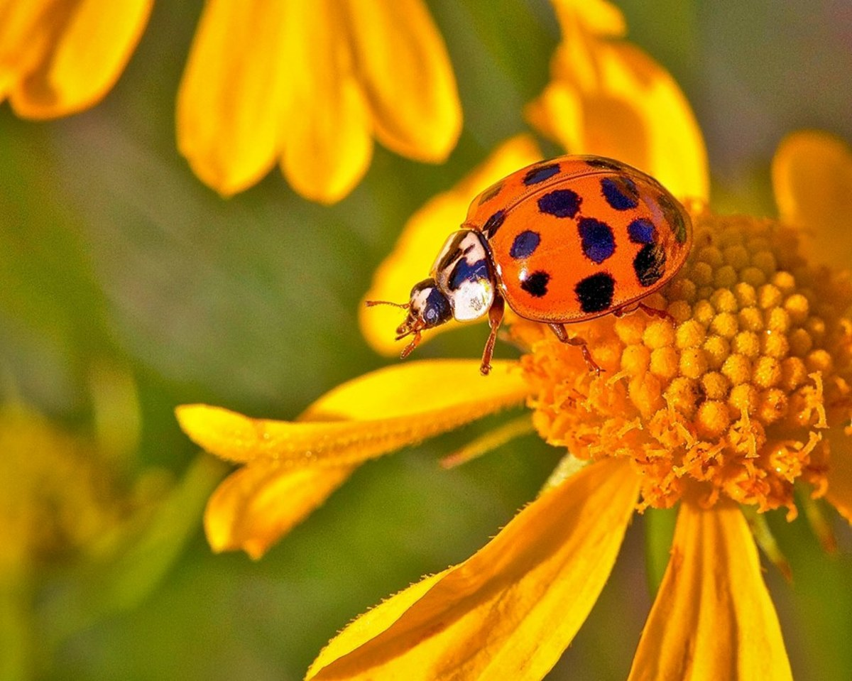 "This is a photograph of an Asian ladybug.  This is considered ""the bad beetle,"" mostly because it likes to spend its winters indoors.  This photograph was taken by an old friend of ours, Larry Jernigan of Heber Springs, Arkansas."