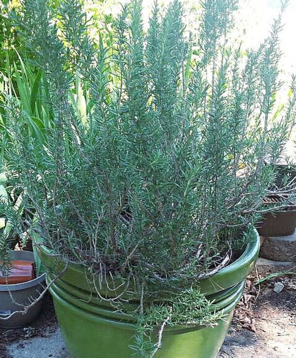 Potted Rosemary Outdoors for the Summer
