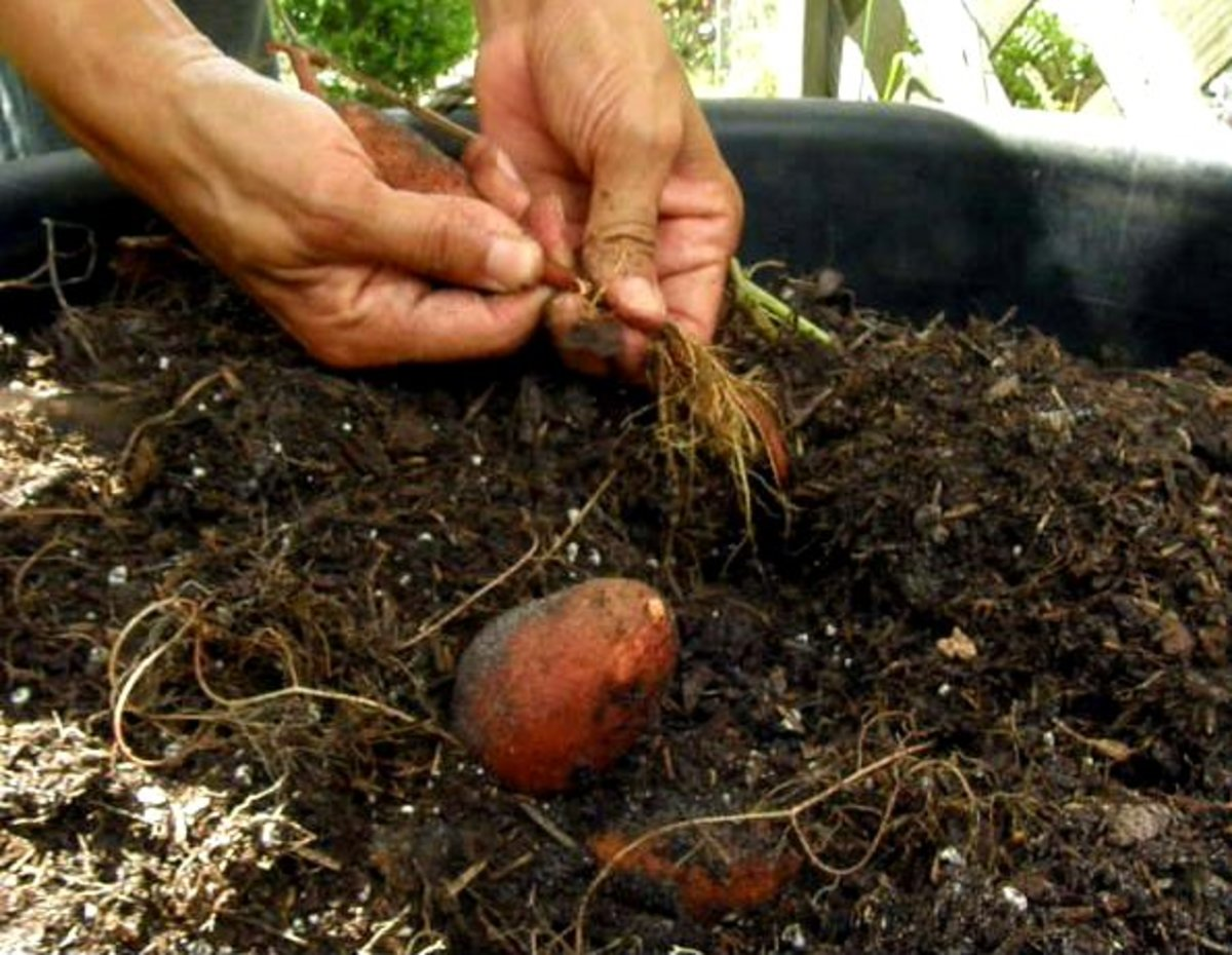 Guide to Growing Sweet Potatoes in a Container