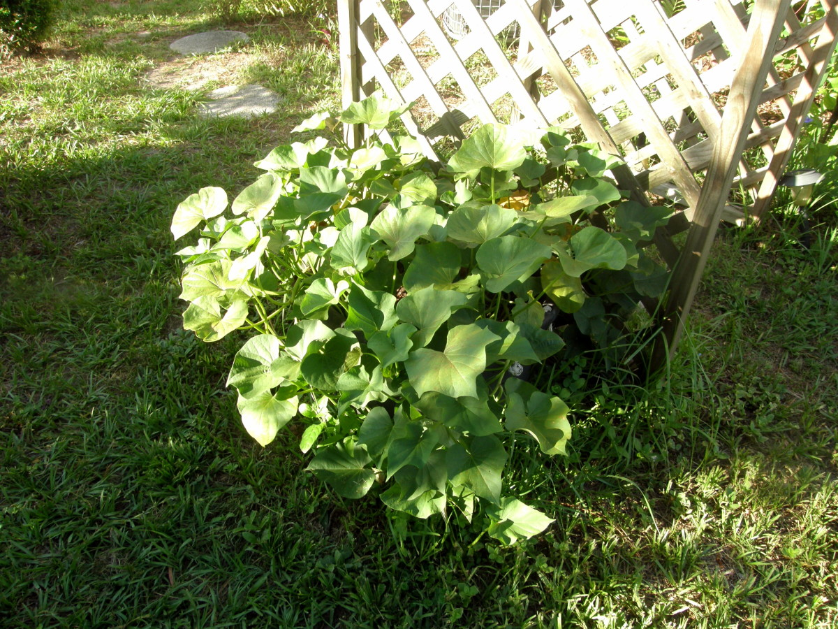 Keep them watered. Sweet potatoes love the heat. When they start to yellow, you'll know it's almost time to harvest.