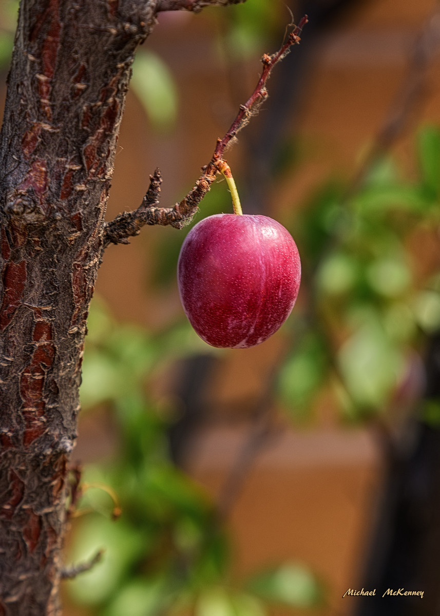 One lone plum from our American wild plum tree in our back yard, although there are lots more on it, so I'm looking for recipes now so I can use them in jelly.