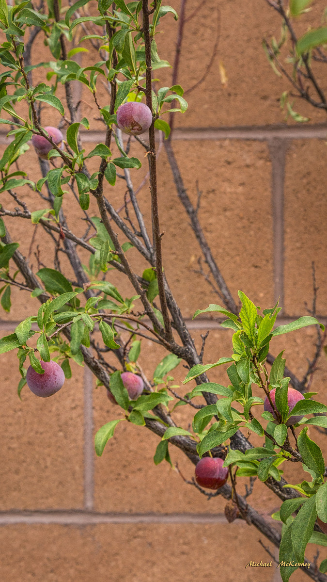 There are a lot more of the American wild plums on our tree.