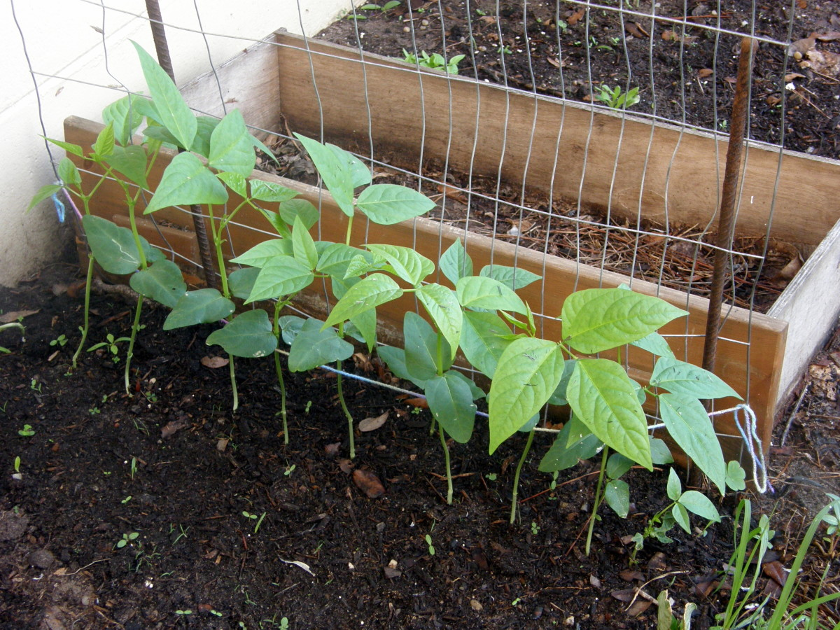 Help the seedlings find the trellis, by positioning them.  Soon they will be able to climb with no help.