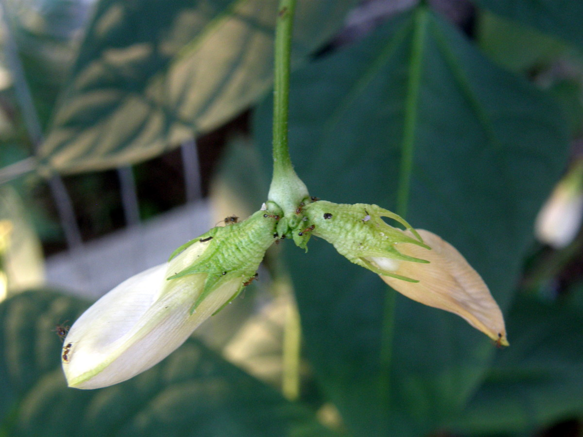 The flowers and resulting bean pods usually form in joined pairs.