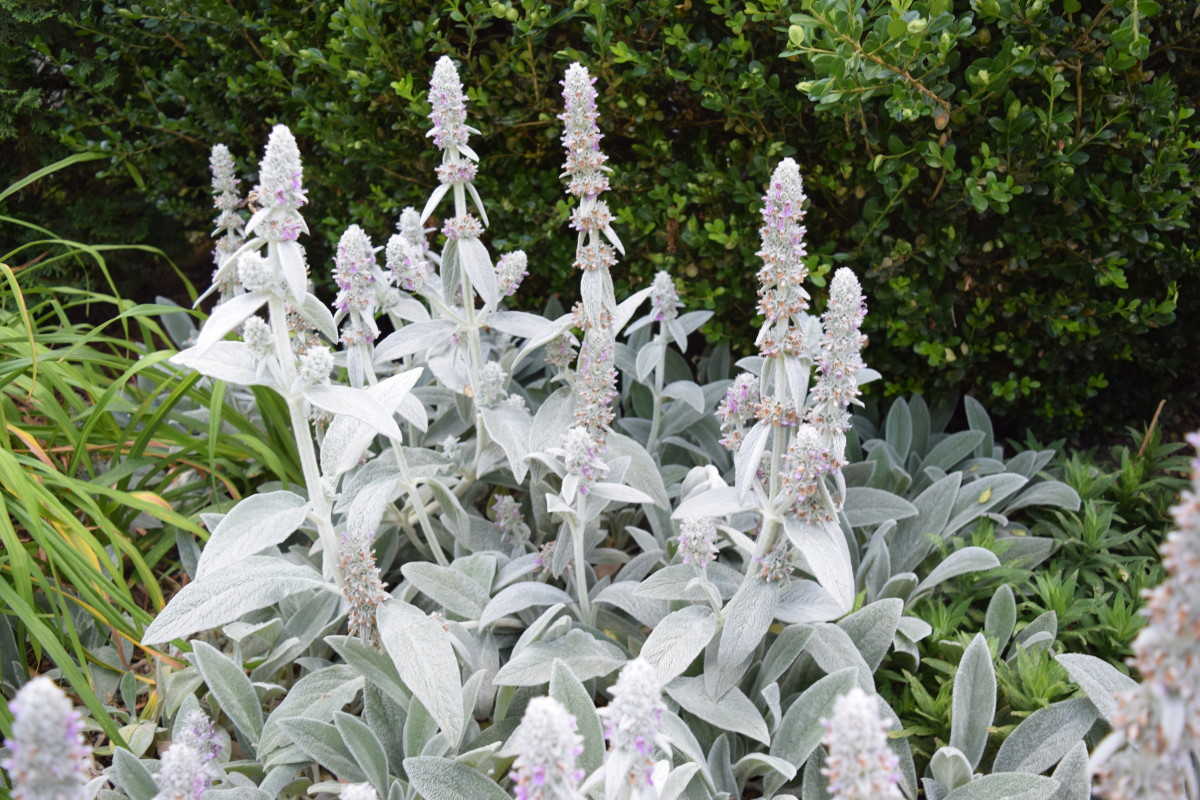 Lamb's Ear in bloom in a hot, sunny microclimate.