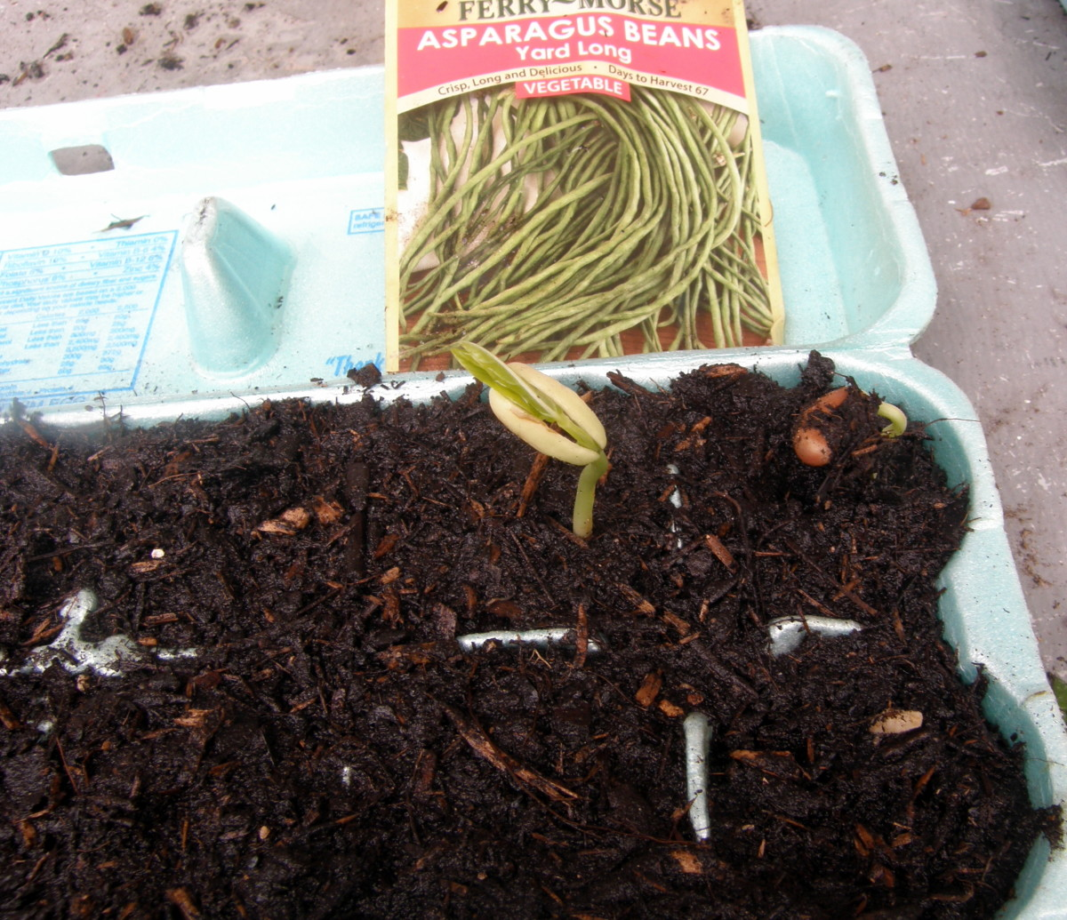 I used recycled egg cartons as seedling starters. They sprouted very quickly, in just two days.