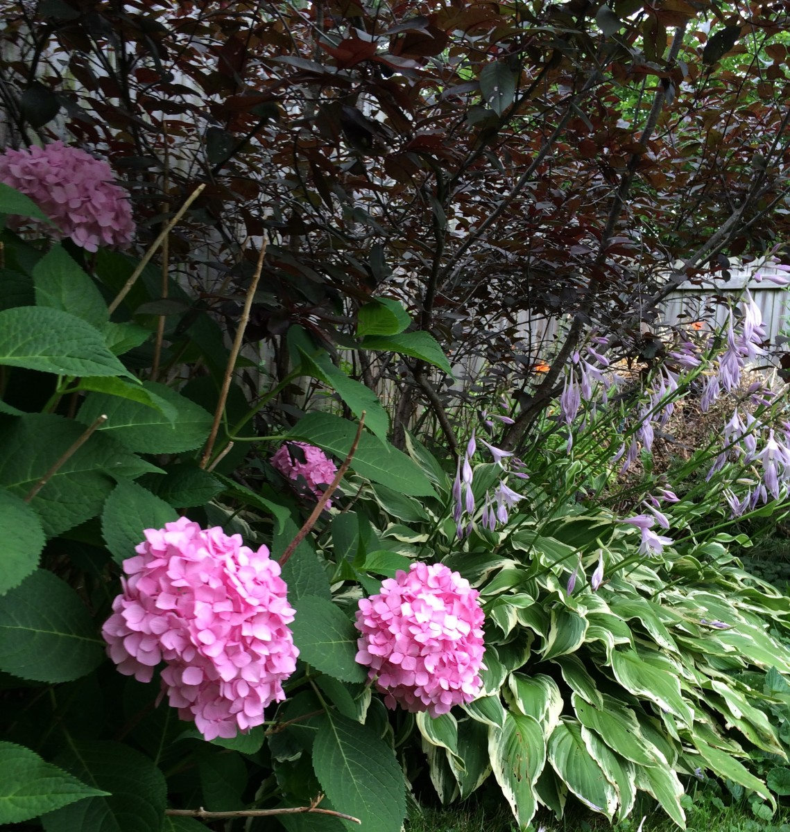 Hydrangea and hostas grow in the yard, away from the house, protected from wind and shaded from sun by a fence.