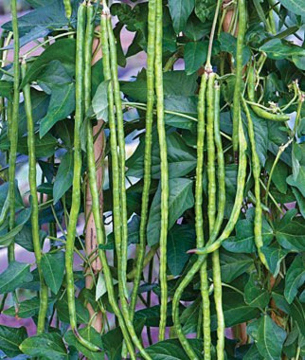Mature asparagus beans
