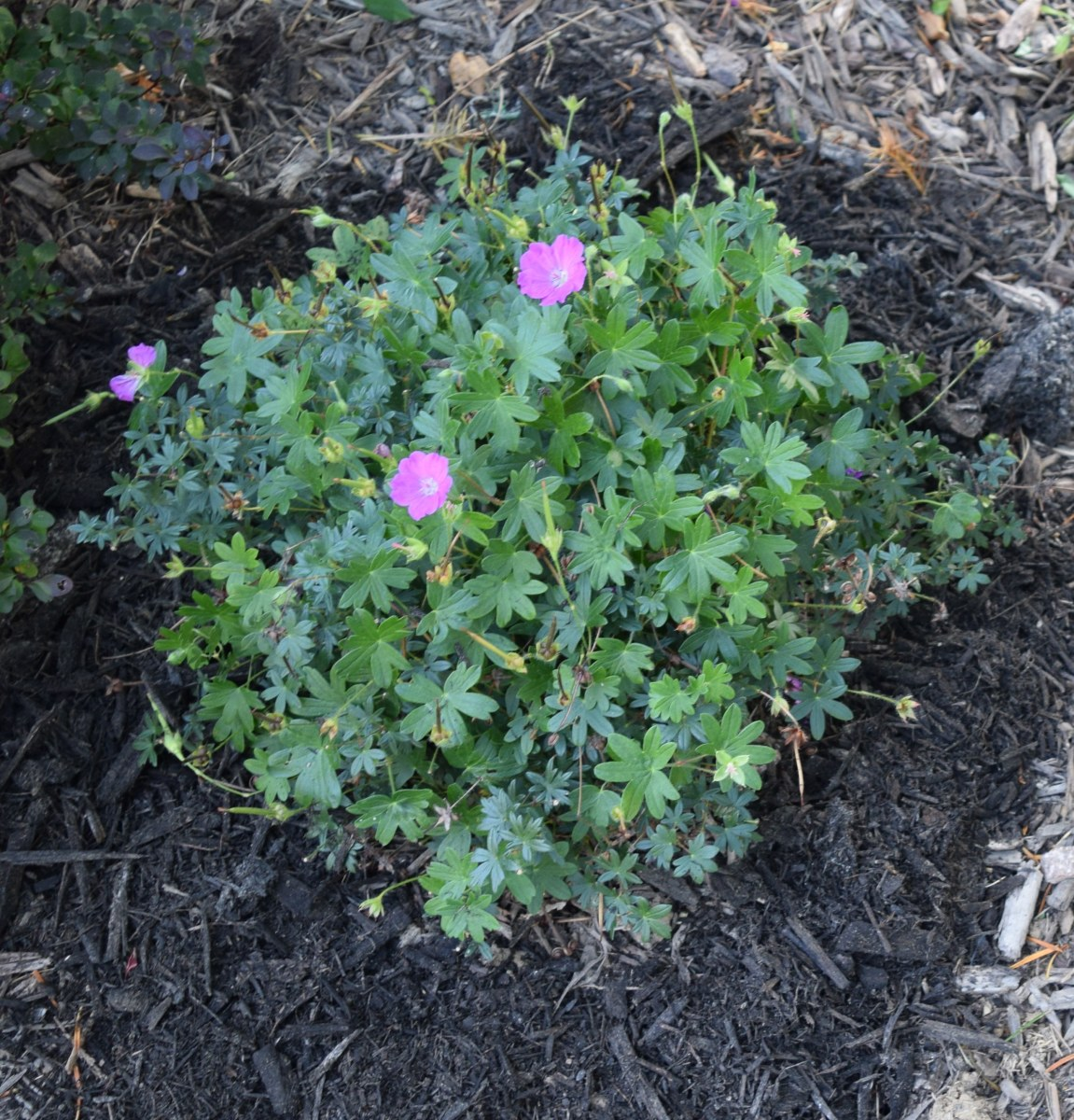Mulch vs. Ground Cover: Which Should I Use?