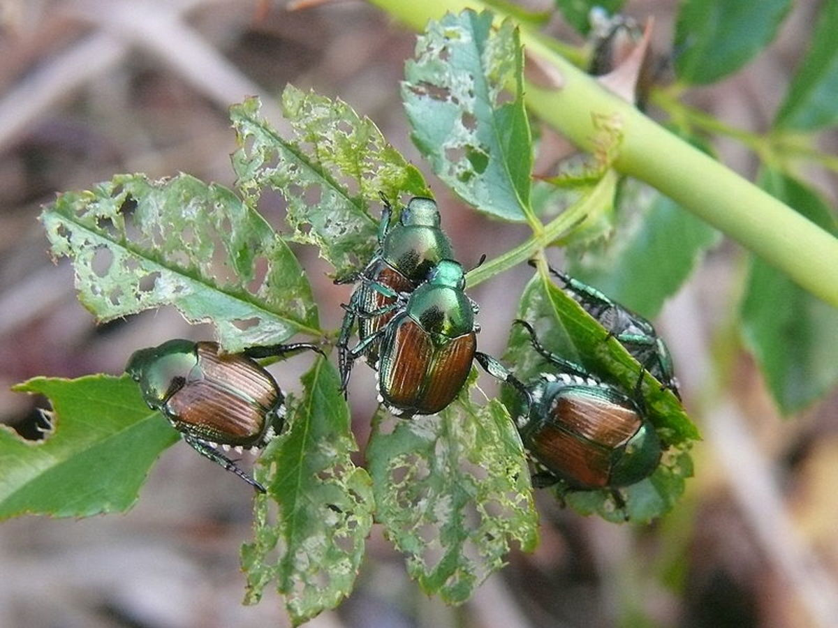 Japanese beetles skeletonize plants by eating the foliage but leaving the stems and veins of the leaves.