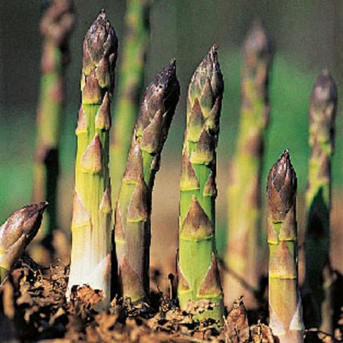 How to Plant Two-Year-Old Asparagus Crowns in Containers