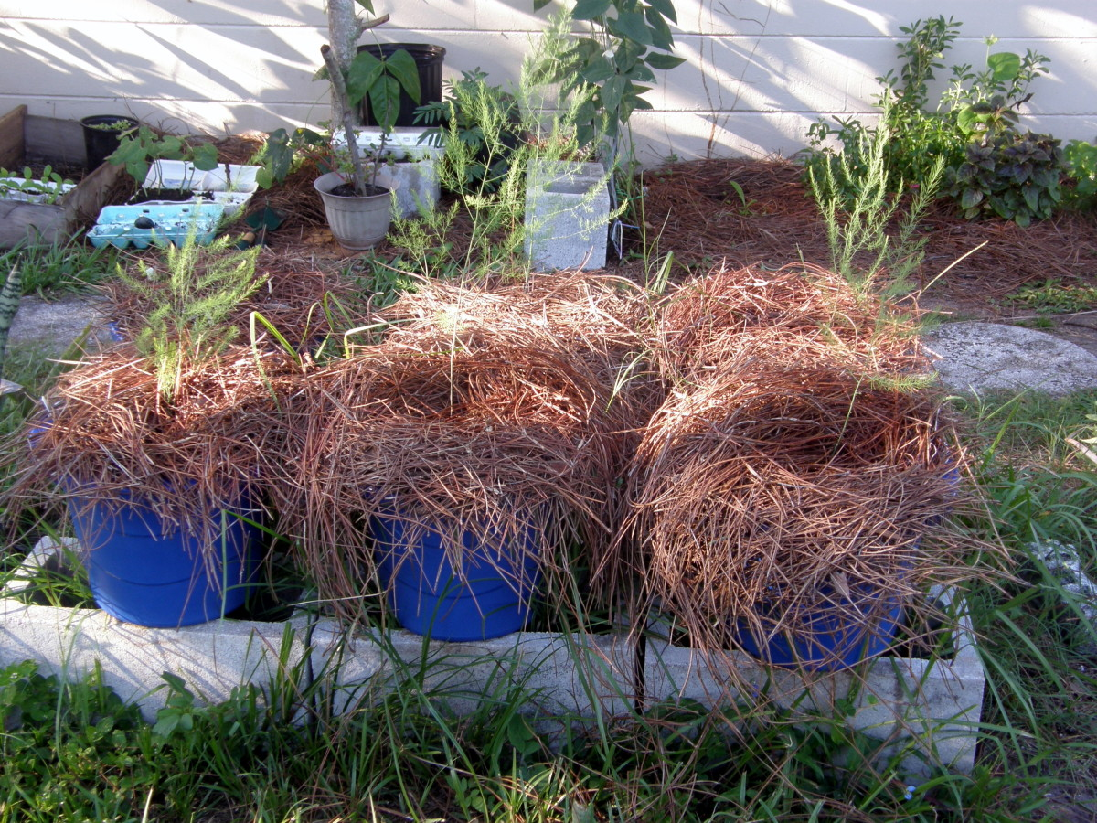 The pots look like bird's nests, but as it was a very hot summer, the mulch prevented the roots from getting scorched.