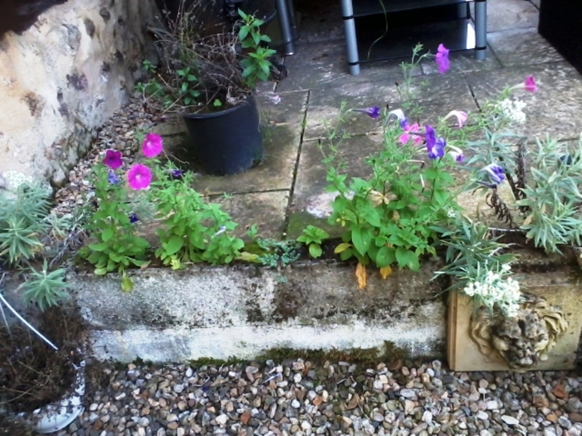Petunias seem to be able to grow anywhere.