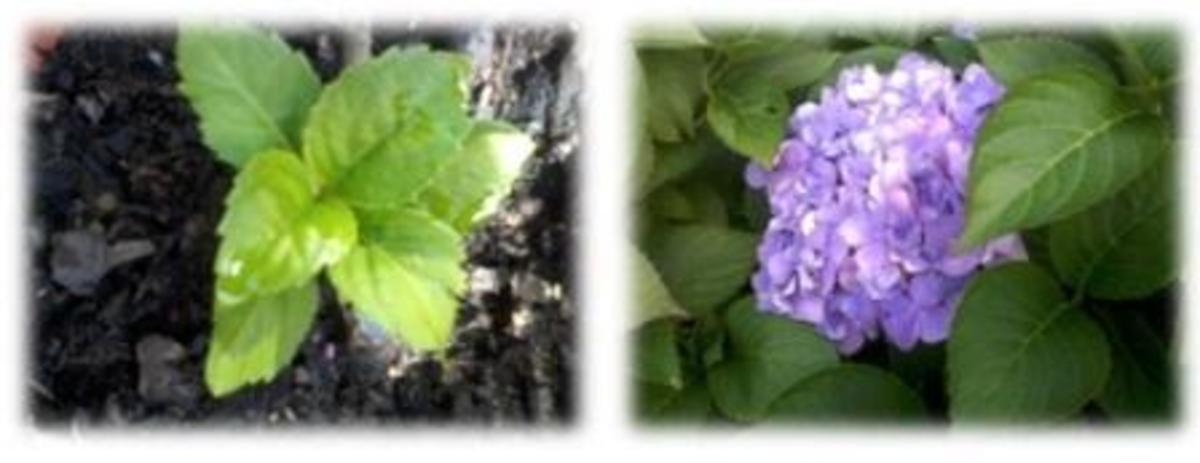 Hydrangea foliage and bloom.