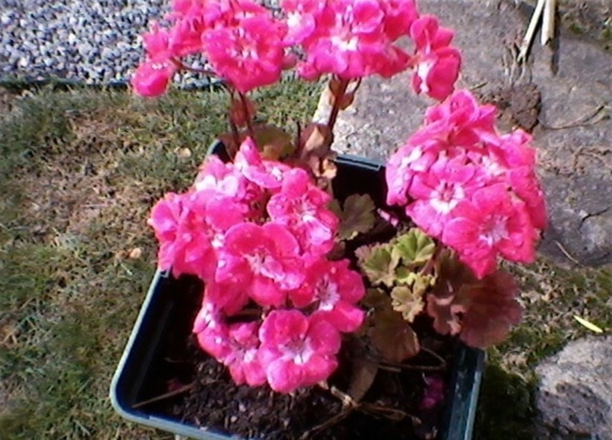 Another pelargonium.