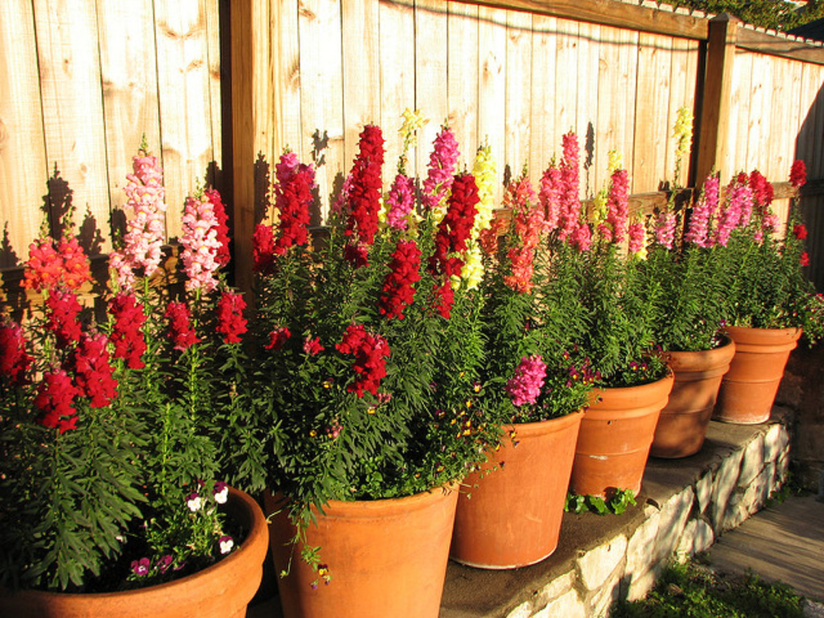 Snapdragons do great in containers, too.