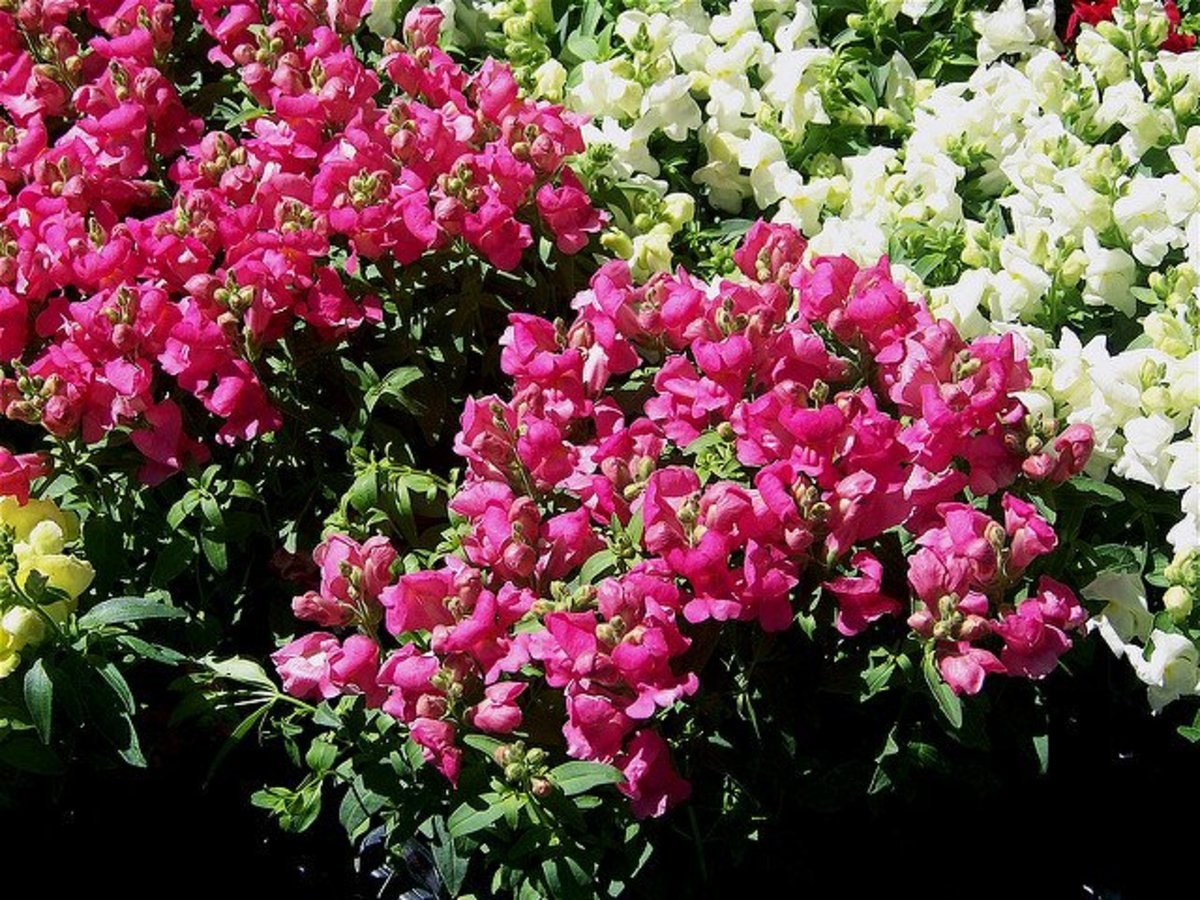 Snapdragons come in a variety of colors and sizes.