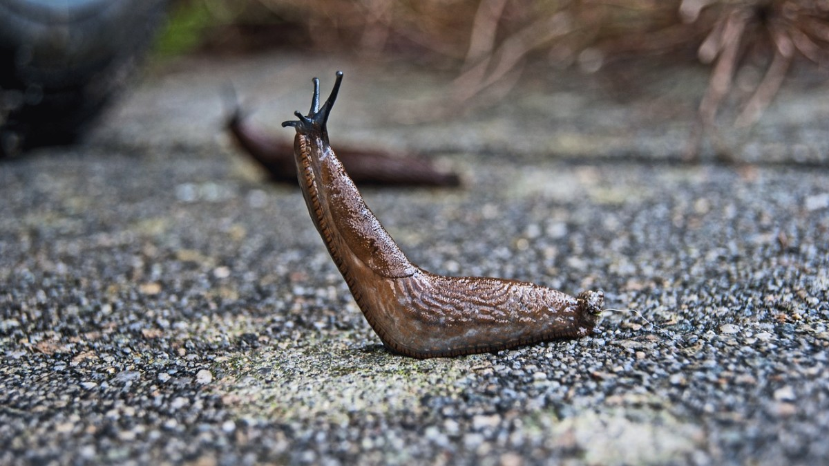 Slugs are a common source of food for garter snakes. Beat them to the punch