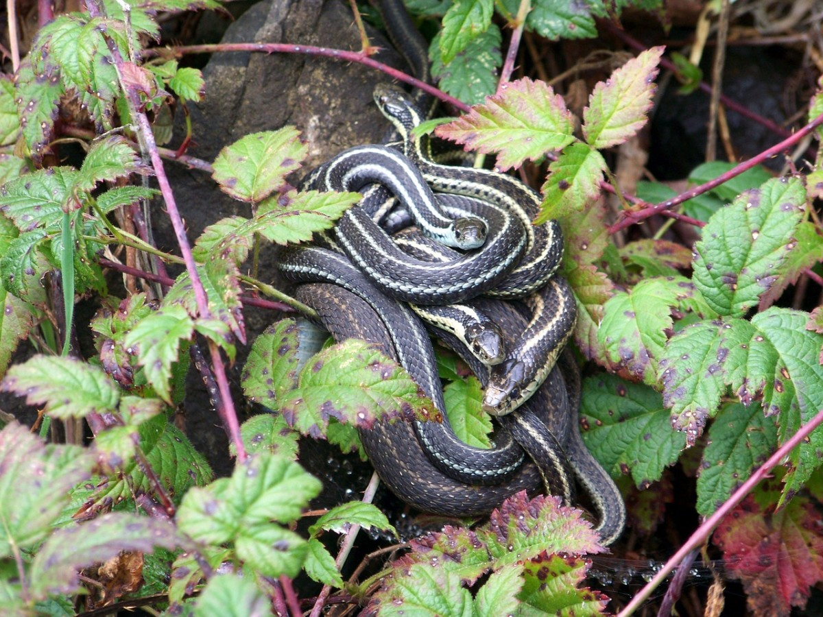 Looking to get rid of garter snakes that have been infesting your backyard?
