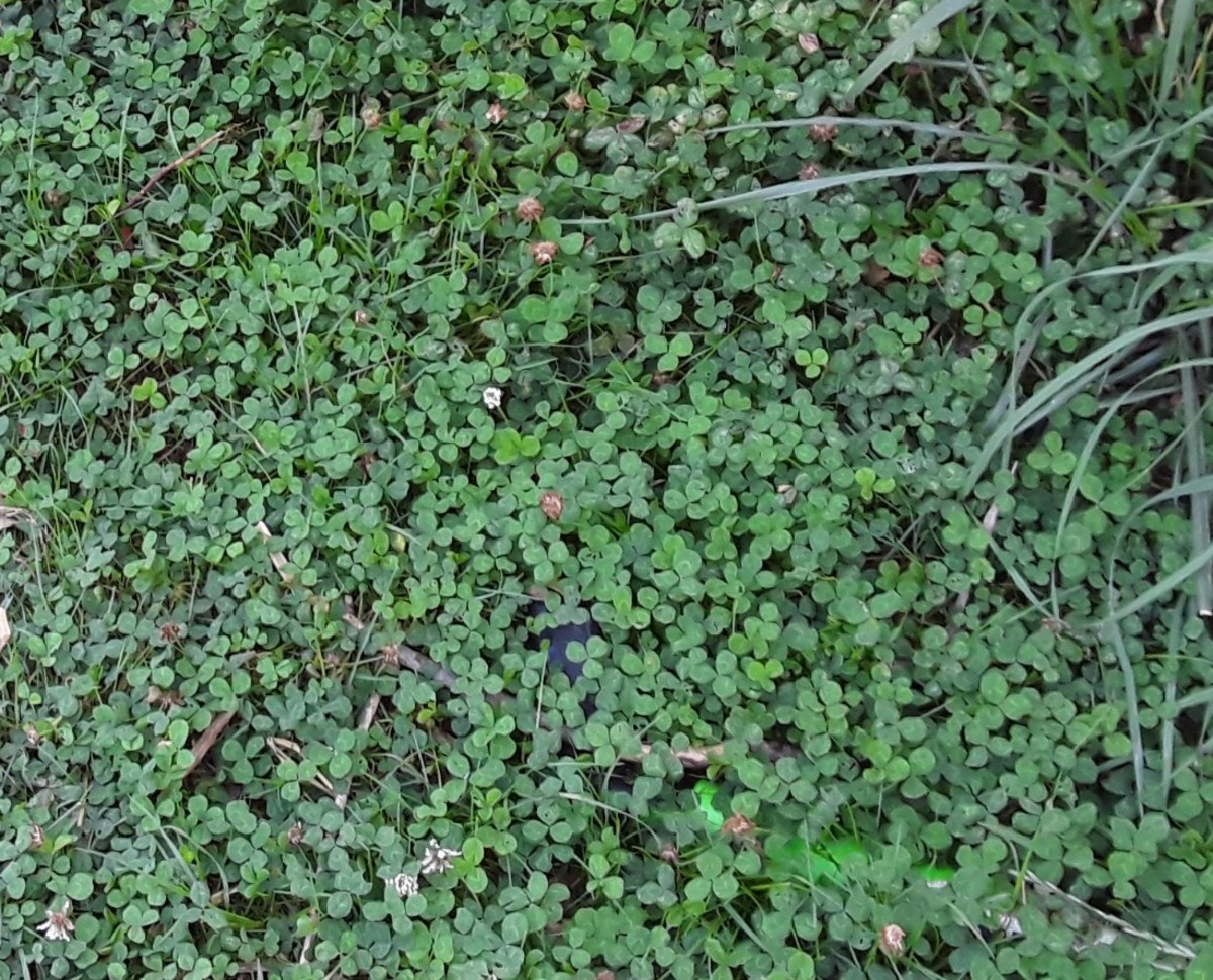 White clover makes a lovely, soft, edible, drought-tolerant, shade-tolerant, nitrogen-fixing lawn alternative.