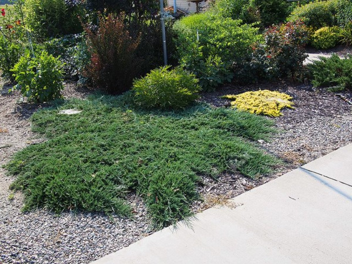 Creeping juniper makes a great ground cover plant in otherwise tricky spaces.