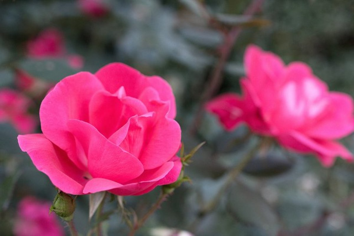 Growing and Caring for Knock Out Roses