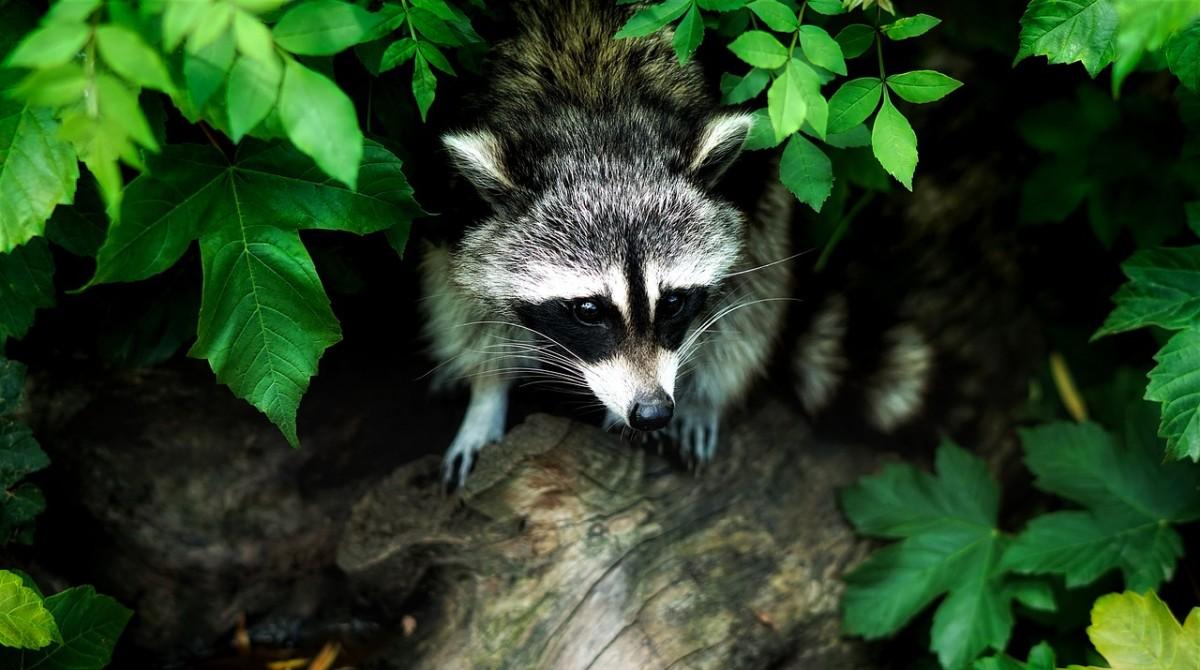 raccoons destroying my garden