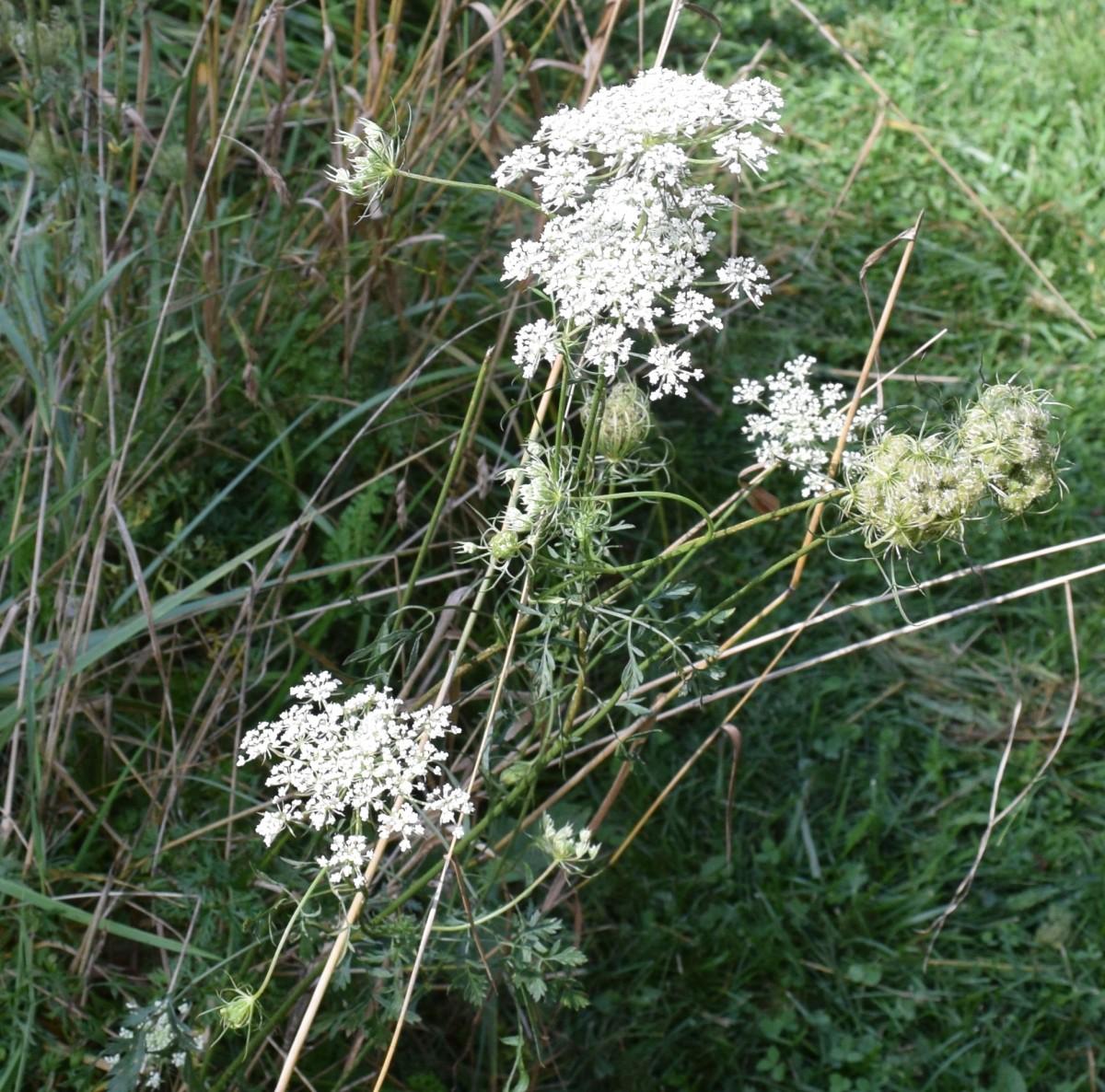 Wildflower: Queen Ann's Lace