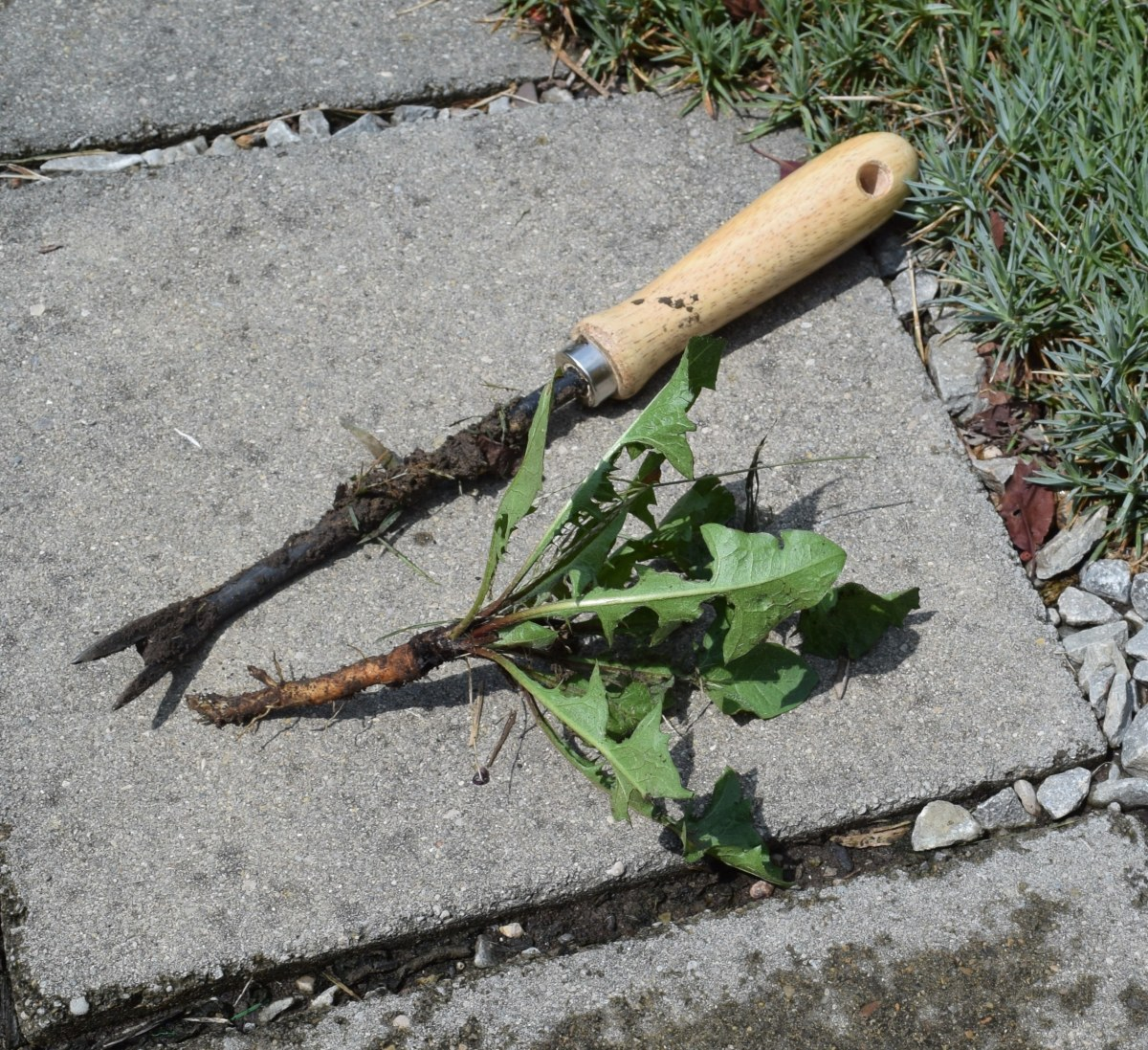 Dandelion weeder and the hapless dandelion. All of the long root (taproot) needs to come out or it will grow back.