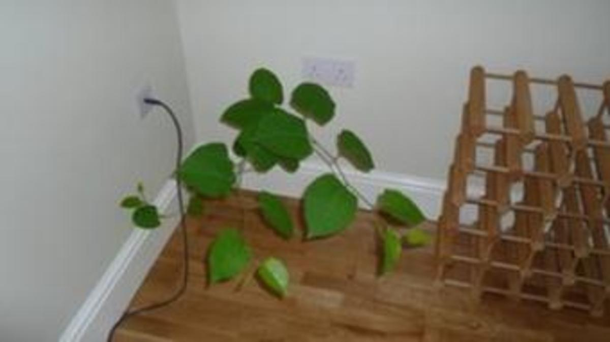 Knotweed growing in house