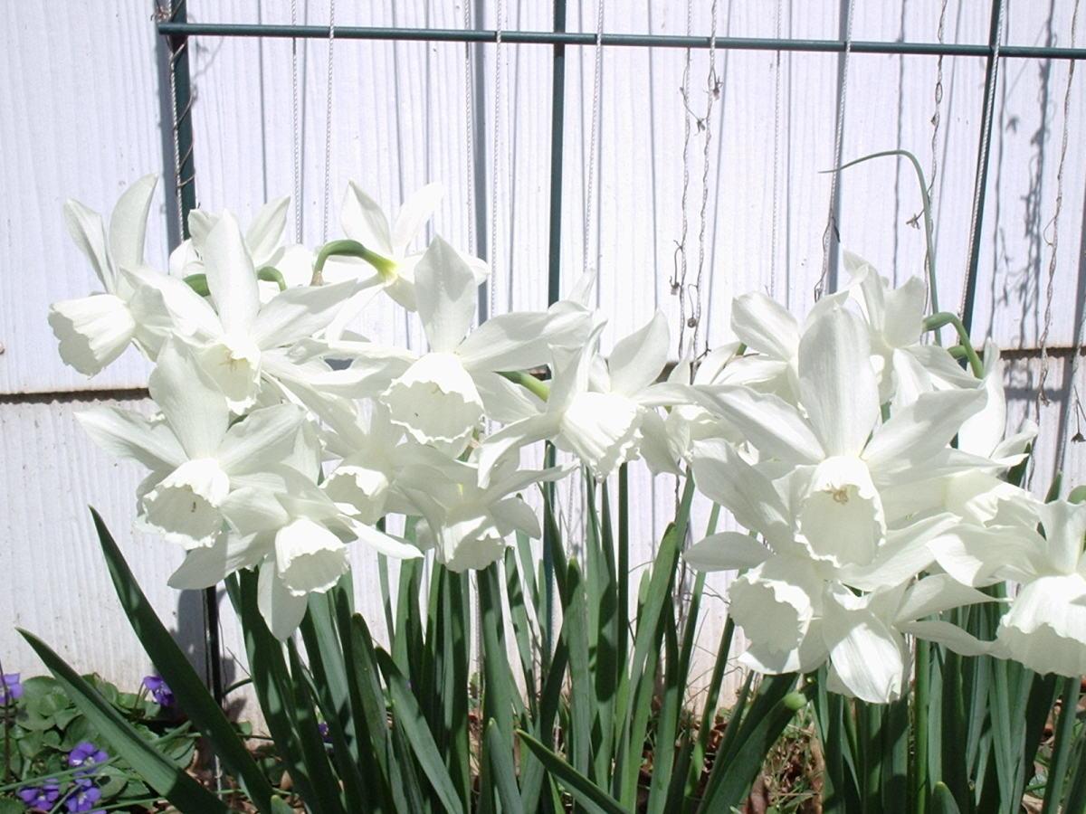 Thalia, an heirloom Triandrus daffodil