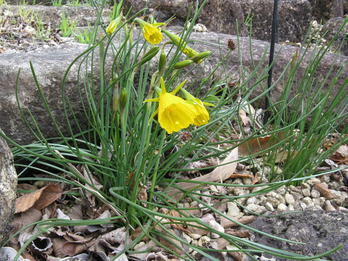 Bulbocodium daffodils are tiny, well-suited to rock gardens
