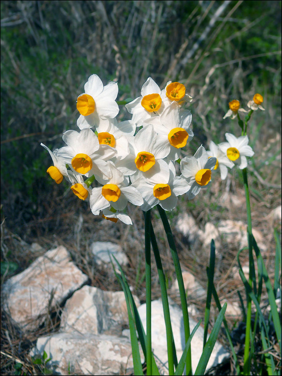 Daffodils can have single flowers or bunches of flowers on a single stem.
