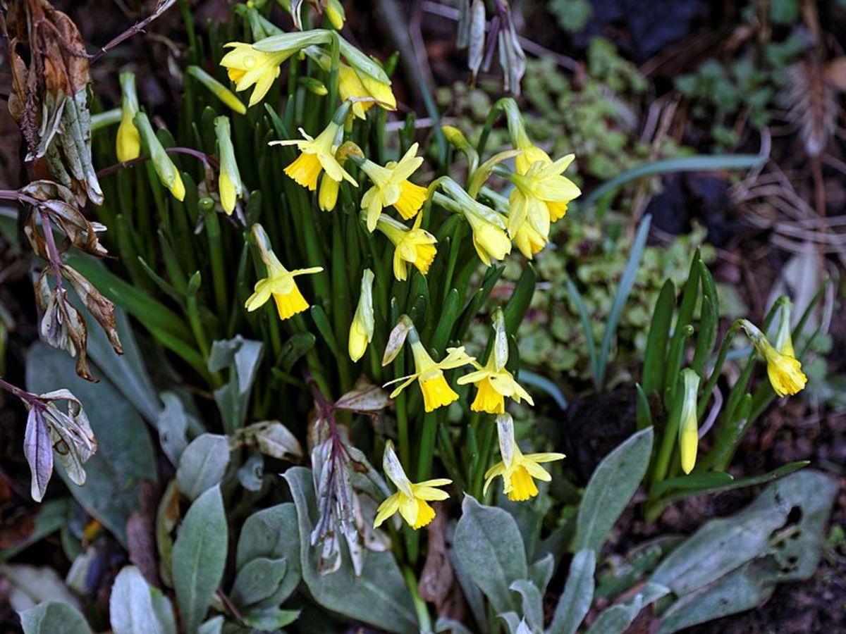 Tete-a-Tete, a miniature daffodil.  This is another one that would be suitable for a rock garden.