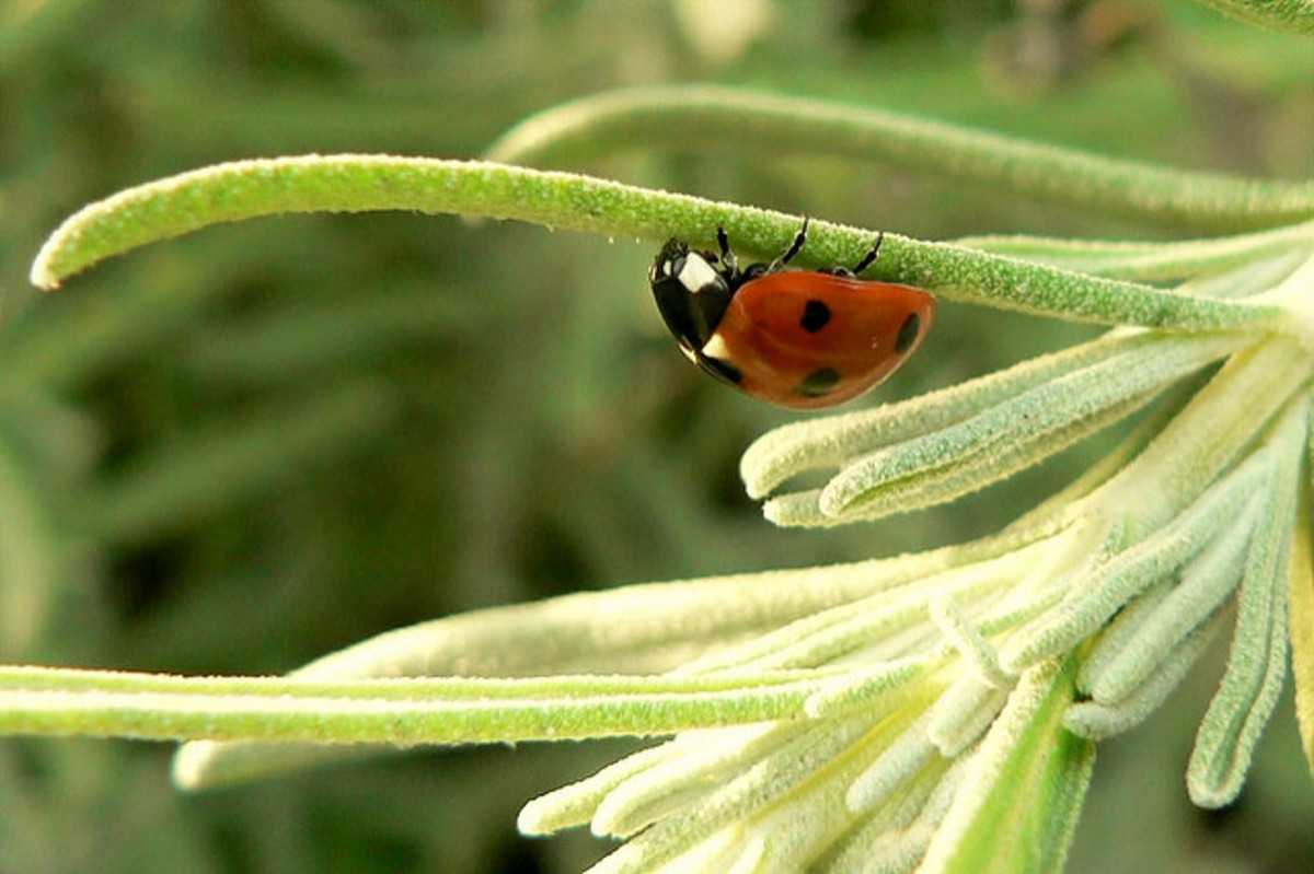 Lady bugs are best when you attract the native variety.