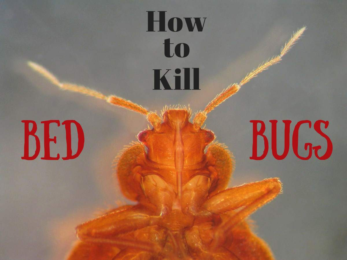 6 Ways To Kill Bed Bugs That Really Work Dengarden