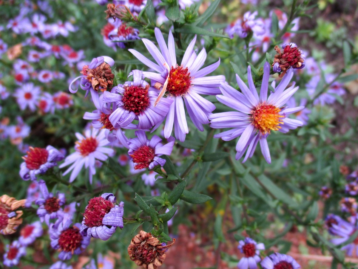 These are the asters I used to spot in open fields and roadsides