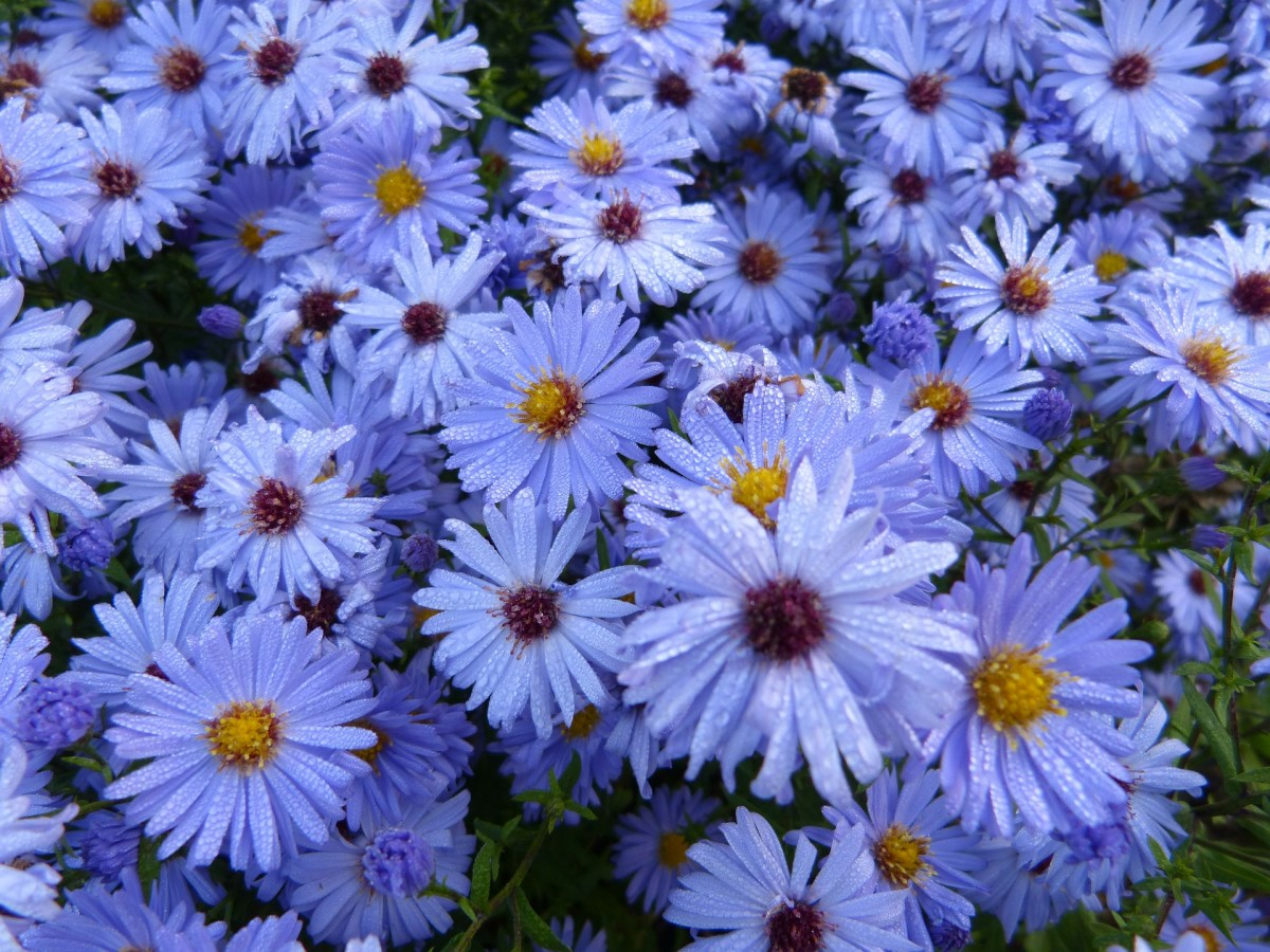 'King George' found in the sub group Aster amellus are light blue asters. Blue is a rare color in flowers.