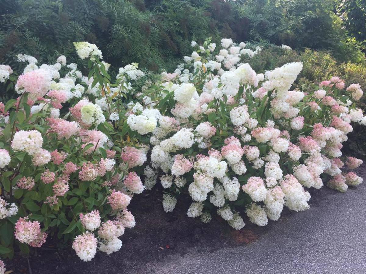 Vanilla Strawberry Hydrangea Shrub at the Chicago Botanic Gardens.