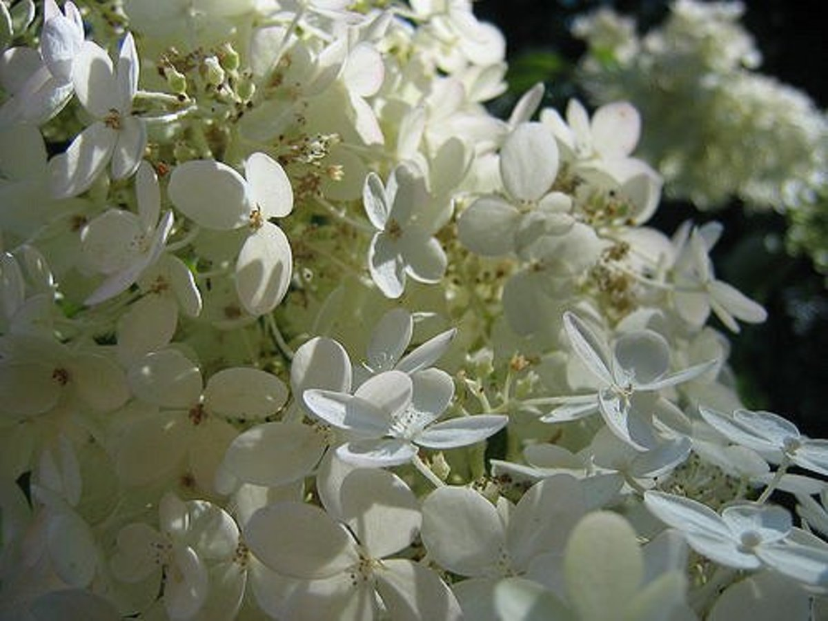 A closeup view of paniculate hydrangea blooms.