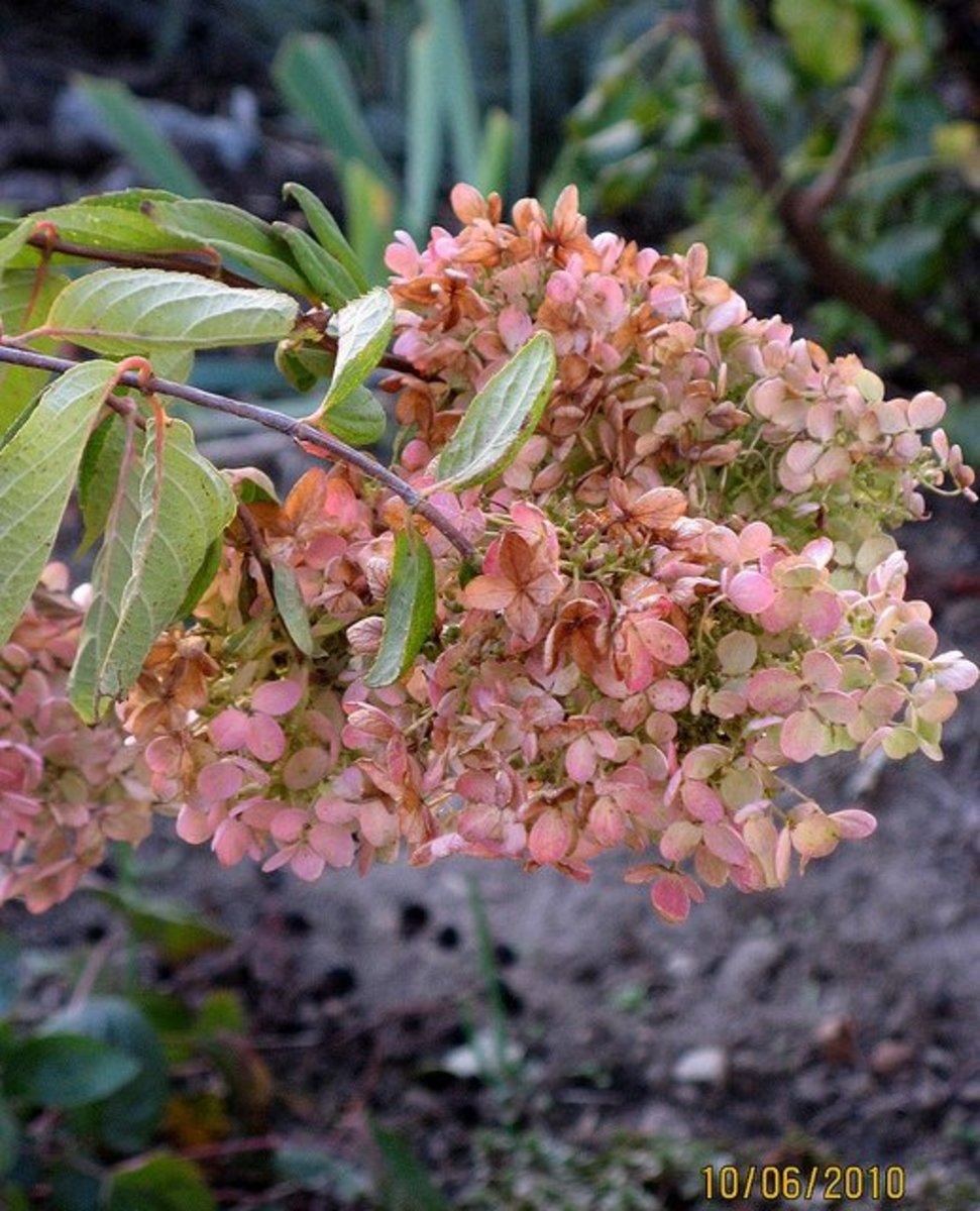 A panicle variety of hydrangea turning pink in autumn.
